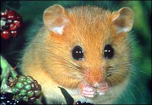 Dormouse Survey 407