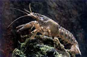 White Clawed Crayfish Survey 410